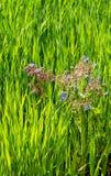 Blåttblommor av boragen planterar att växa bland ett fält av ljust - grönt vete royaltyfri foto