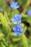 Blåttblommor av den Omphalodes vernaen på våren Arkivfoton