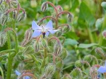 Blåttblommor av medicinalväxtStjärna-blomman Fotografering för Bildbyråer