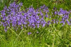 Blåttblommor som blommar i vårträdgård Arkivfoto