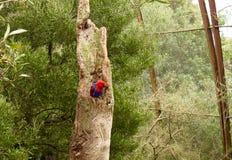 Blåtten och rött Den karmosinröda rosellapapegojan royaltyfri bild