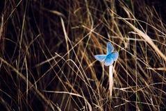 Blåttfjäril på gräs arkivbilder