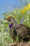 Blåttgrouse (den Dendragapus obscurusen) Royaltyfri Foto