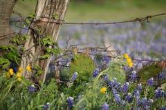 Blåtthättor, staket och taggtråd i södra Texas royaltyfri bild
