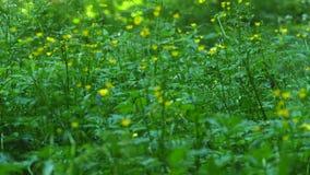 Blåtthav, Sky & moln Blommor yellow för fjäder för äng för bakgrundsmaskrosor full mot bakgrund field blåa oklarheter för grön vi lager videofilmer