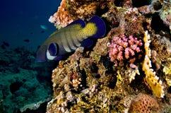 Blåtthavsaborrefisk med kulöra koraller Arkivfoto