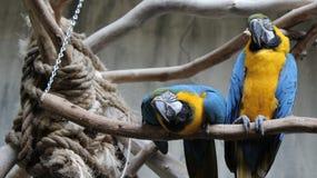 Blåttpapegojor på fågelkungarikeaviariet, Niagara Falls, Kanada Royaltyfri Foto