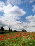 Slösa skyen och vallmor i Tuscany Arkivfoton