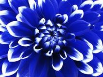 Blåvit blomma för dahlia closeup Brokig stor blomma Bakgrund från en blomma Fotografering för Bildbyråer
