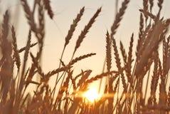 Blé au coucher du soleil. Photographie stock libre de droits
