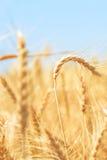 Blé cru dans le domaine de blé Photographie stock