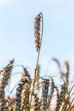 Blé cru dans le domaine de blé Photo stock