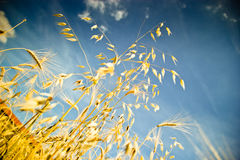 Blé d'or Image libre de droits