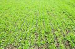 blé d'automne Photo libre de droits