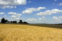 blé d'or de zone Photographie stock libre de droits