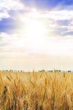 Blé d'or en été lumineux Sun photographie stock
