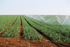 Blé d'irrigation Photos stock
