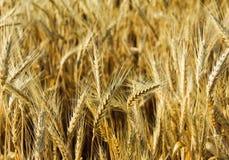 blé d'oreille Photo libre de droits