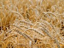 blé d'oreilles Image libre de droits