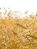 blé d'oreilles Photo stock