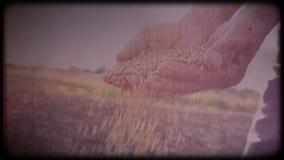 Blé dans les mains d'un producteur L'homme vérifie les mains fonctionnantes de récolte, peau rugueuse clips vidéos