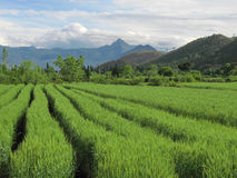 Blé dans Lijiang/Yunnan Photographie stock