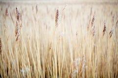 blé de texture Image libre de droits