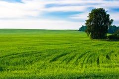 blé de zone photos stock
