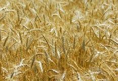 blé de zone Images libres de droits