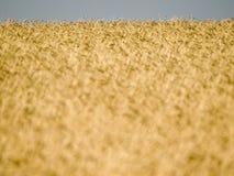 blé de zone Photographie stock
