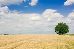 blé de zone Photographie stock libre de droits