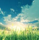 blé de zone Photos libres de droits