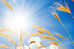 blé ensoleillé de ciel d'or de fond image libre de droits
