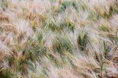 Blé - fermez-vous d'un champ de blé Champ de blé mûr d'or, jour ensoleillé Images stock