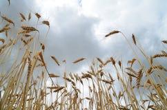 blé mûr Images stock