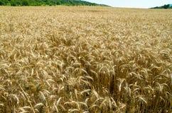blé mûr Photographie stock