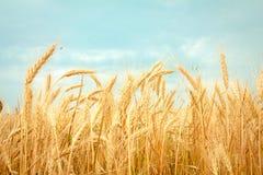 blé mûr image libre de droits