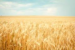 blé mûr photos stock