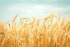 blé mûr photographie stock libre de droits