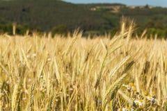 Blé mûr sur un champ dans la République Tchèque Soirée à la ferme Élevage du grain Photos libres de droits