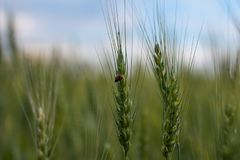 Blé, oreilles de blé images libres de droits