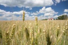 Blé s'élevant sur les terres cultivables rurales images libres de droits