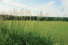 Blé sur un champ d'herbe Images stock