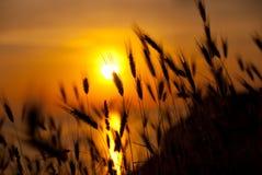 Blé sur un coucher du soleil grand d'été photographie stock