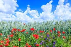 Blé vert dans le domaine Ciel bleu avec des cumulus Paysage magique d'été Les fleurs des pavots de juin autour photo stock