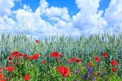 Blé vert dans le domaine Ciel bleu avec des cumulus Paysage magique d'été Les fleurs des pavots de juin autour image stock