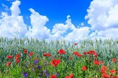 Blé vert dans le domaine Ciel bleu avec des cumulus Le su magique images stock