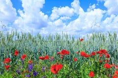 Blé vert dans le domaine Ciel bleu avec des cumulus Le su magique photographie stock libre de droits