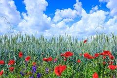 Blé vert dans le domaine Ciel bleu avec des cumulus Le su magique photos libres de droits