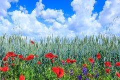 Blé vert dans le domaine Ciel bleu avec des cumulus Le su magique photos stock